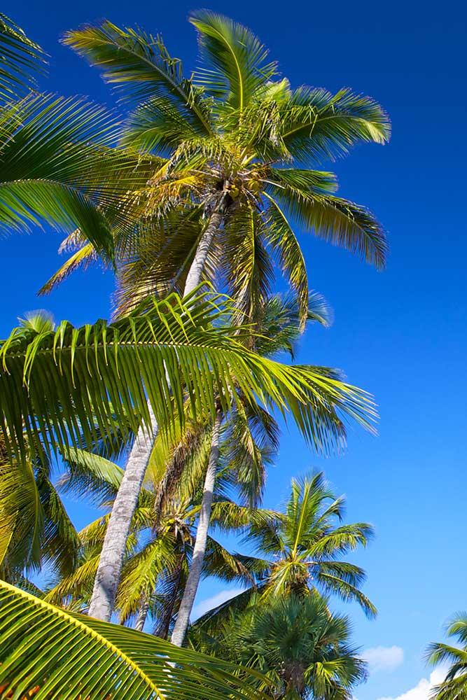 SXM PALM TREE BRIGHT PATH